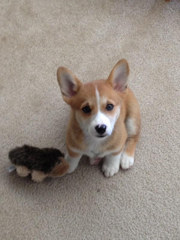 9-Week-Old Corgi Puppy