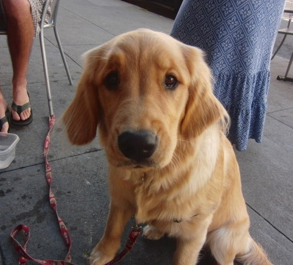 dog of the day lily the golden retriever puppy the dogs