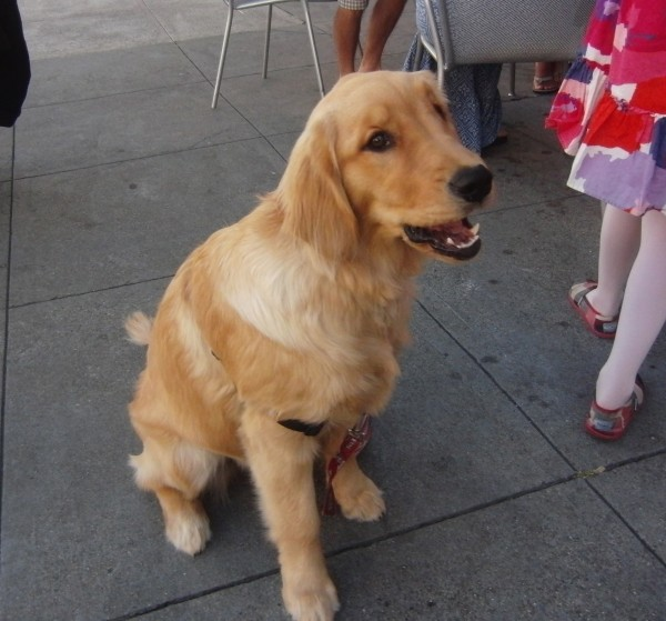 6-Month-Old Golden Retriever Puppy