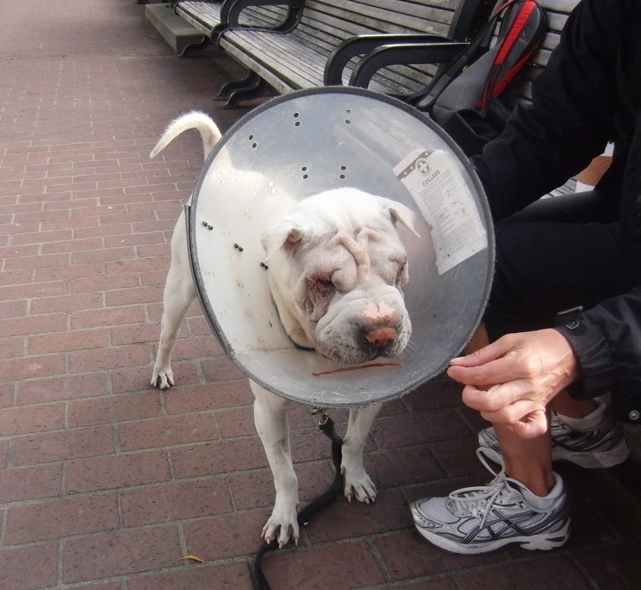 White Shar Pei who Dropped a Treat Into Her Cone of Shame