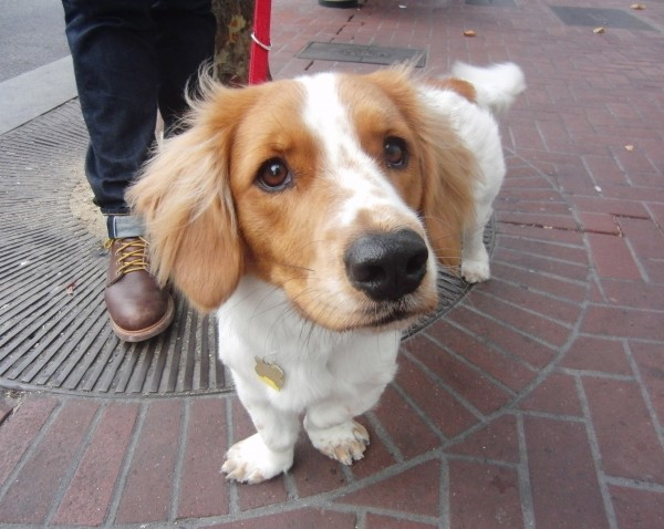 Brittany Spaniel/Basset Hound Mix with Brittany Spaniel Face and Basset Hound Body