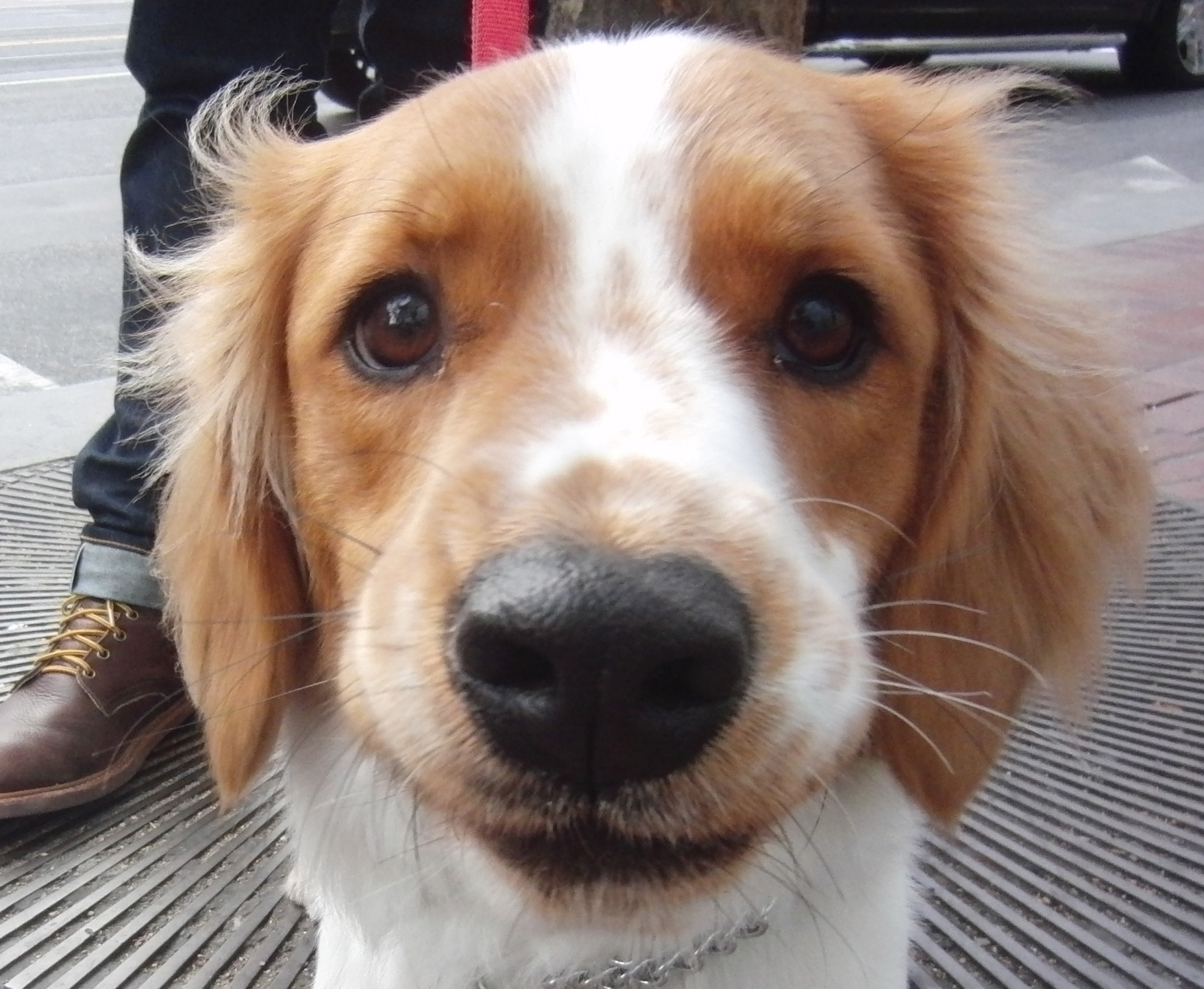 Brittany Spaniel/Basset Hound Mix with Brittany Head and Basset Body