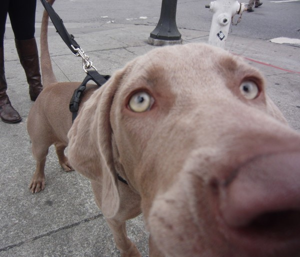 6-Month-Old Weimaraner Nose