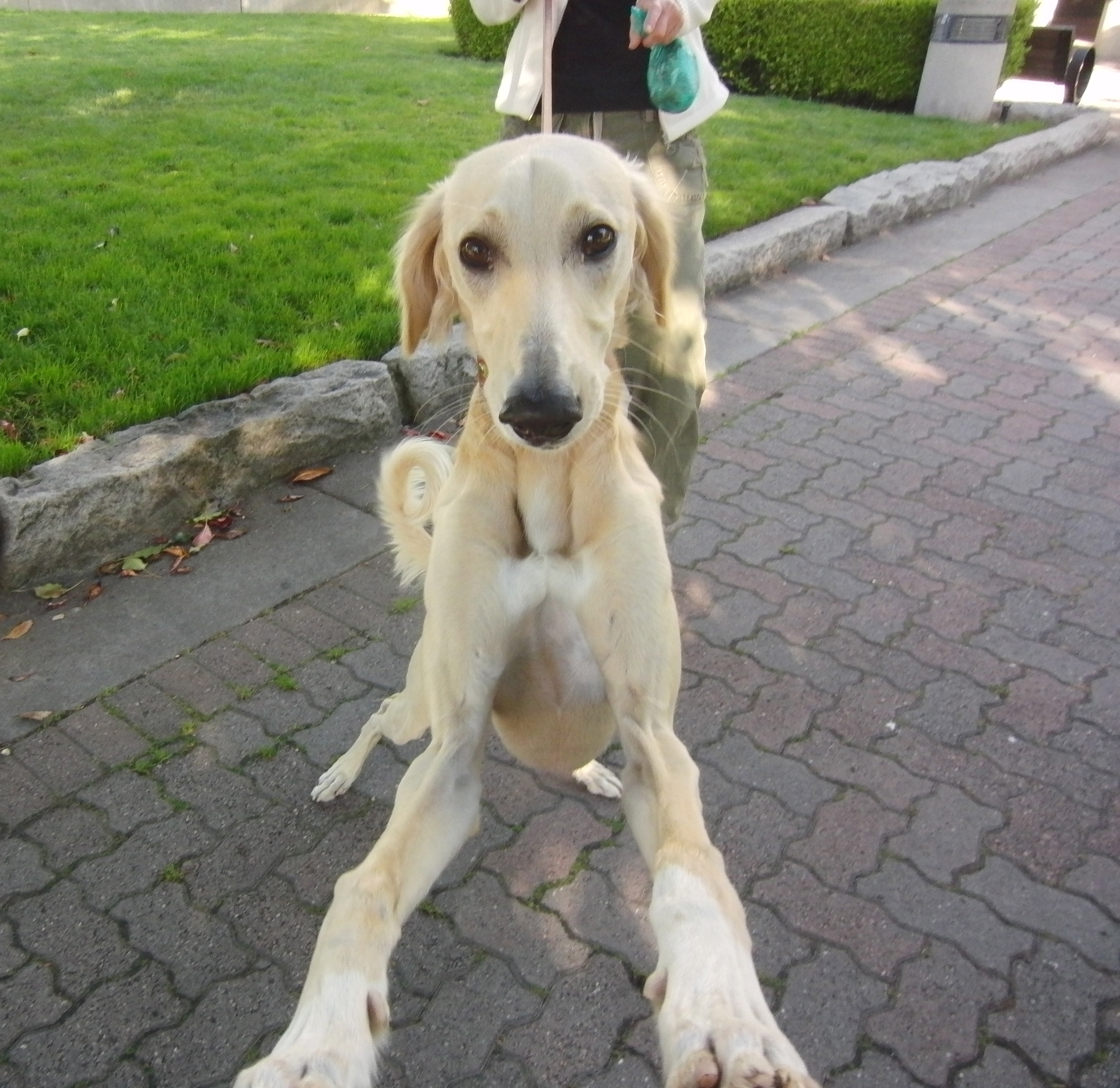 Wadi the Feathered Golden Saluki