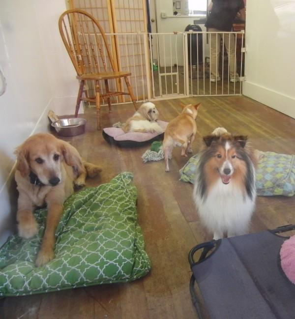 Tiny Shetland Sheepdog, Golden Retriever, Shih Tzu, Rat Terrier Mix