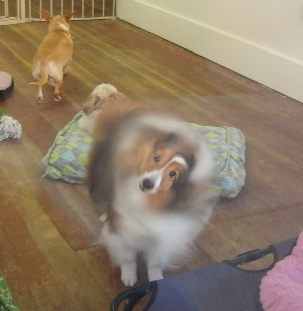Sheltie Shaking Itself