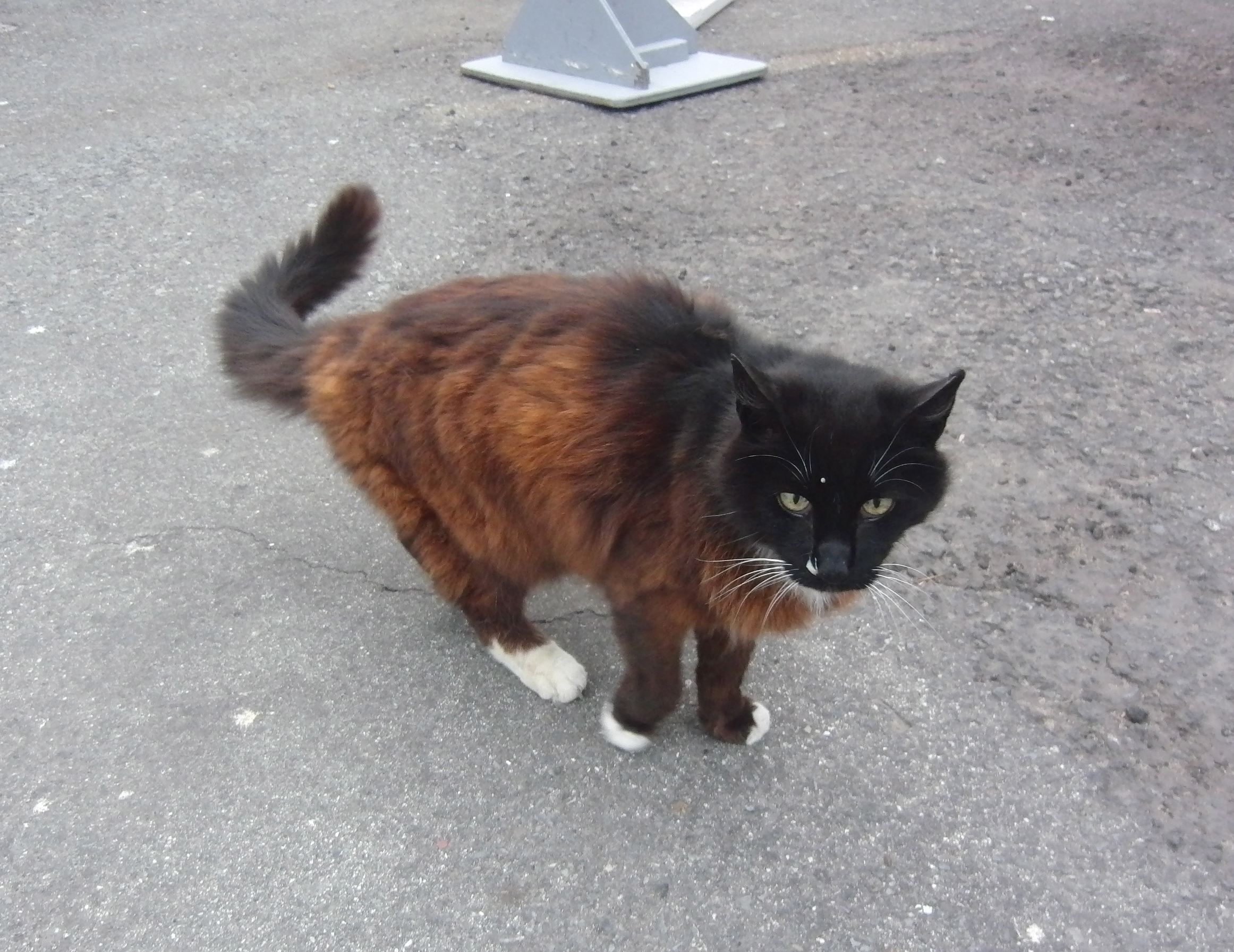 Brown and Black Cat With Black Head and White Socks