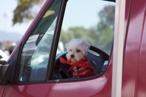 Maltese Dog in Red Bandana and Shirt in a Truck