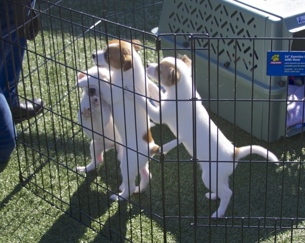 Jack Russel Terrier Mix Puppies