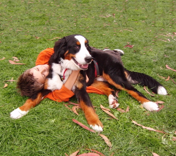 Bernese Mountain Dog Being Hugged By Boy