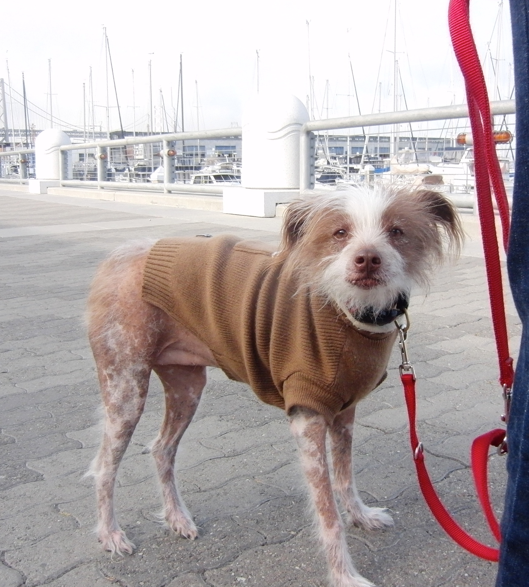 Chinese Crested/Australian Cattle Dog Mix in a Sweater