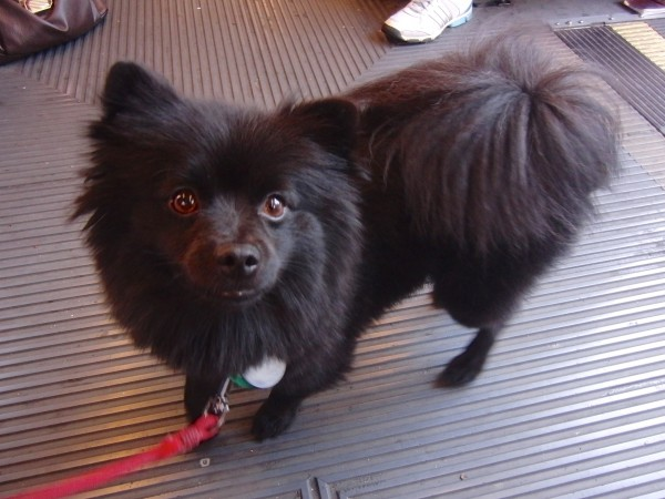 Black Pomeranian on a MUNI Train