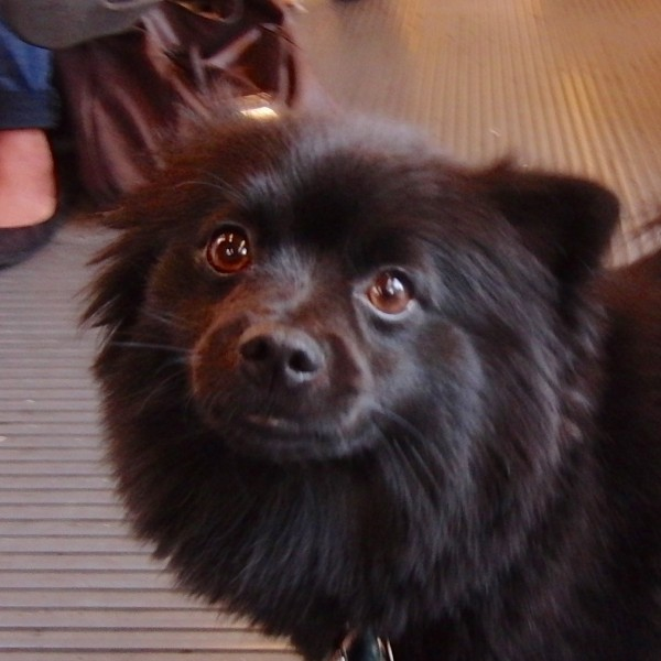 Black Pomeranian on a MUNI Bus