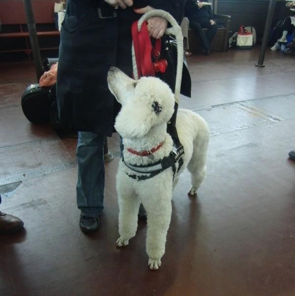 White Standard Poodle Service Dog
