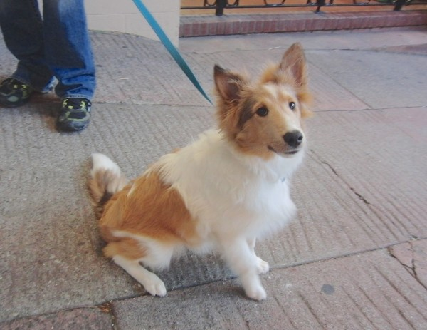 Tan and White Shetland Sheepdog (Sheltie) Puppy