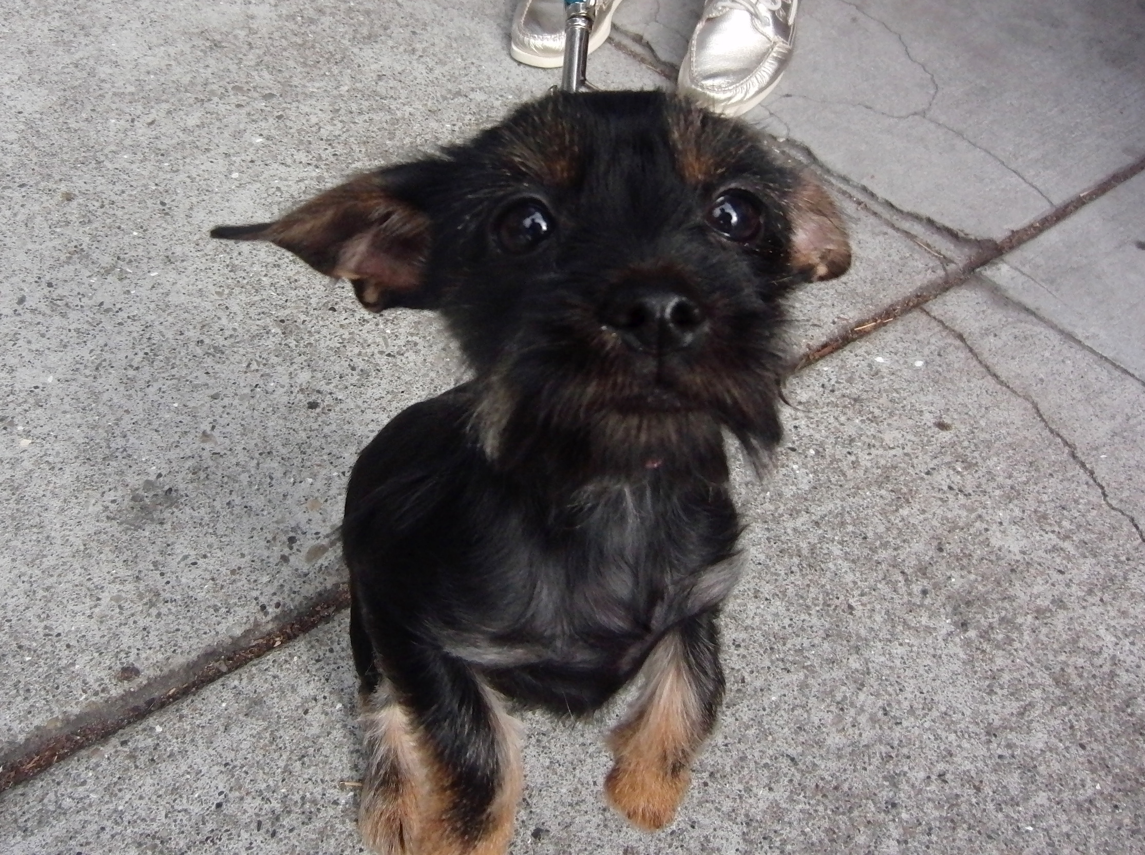 Four-Month-Old Yorkshire Terrier (Yorkie) With Puppy Coloration