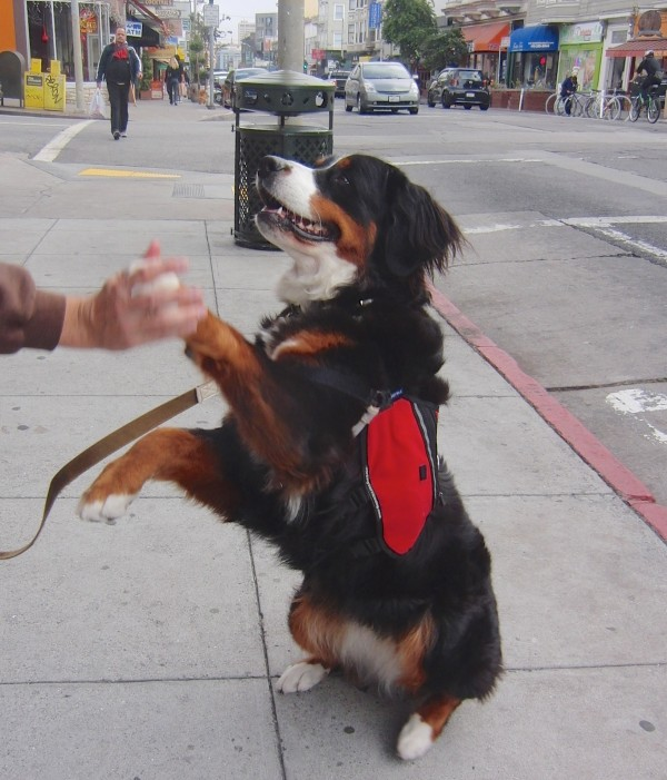 Bernese Mountain Service Dog With Backpack Doing a High Five