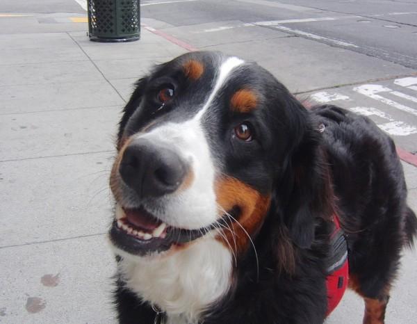Grinning Bernese Mountain Dog