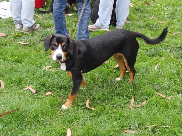 Swiss Mountain Dog Of Some Kind