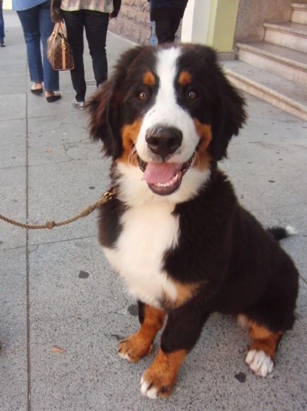 5-Month-Old Bernese Mountain Dog Puppy