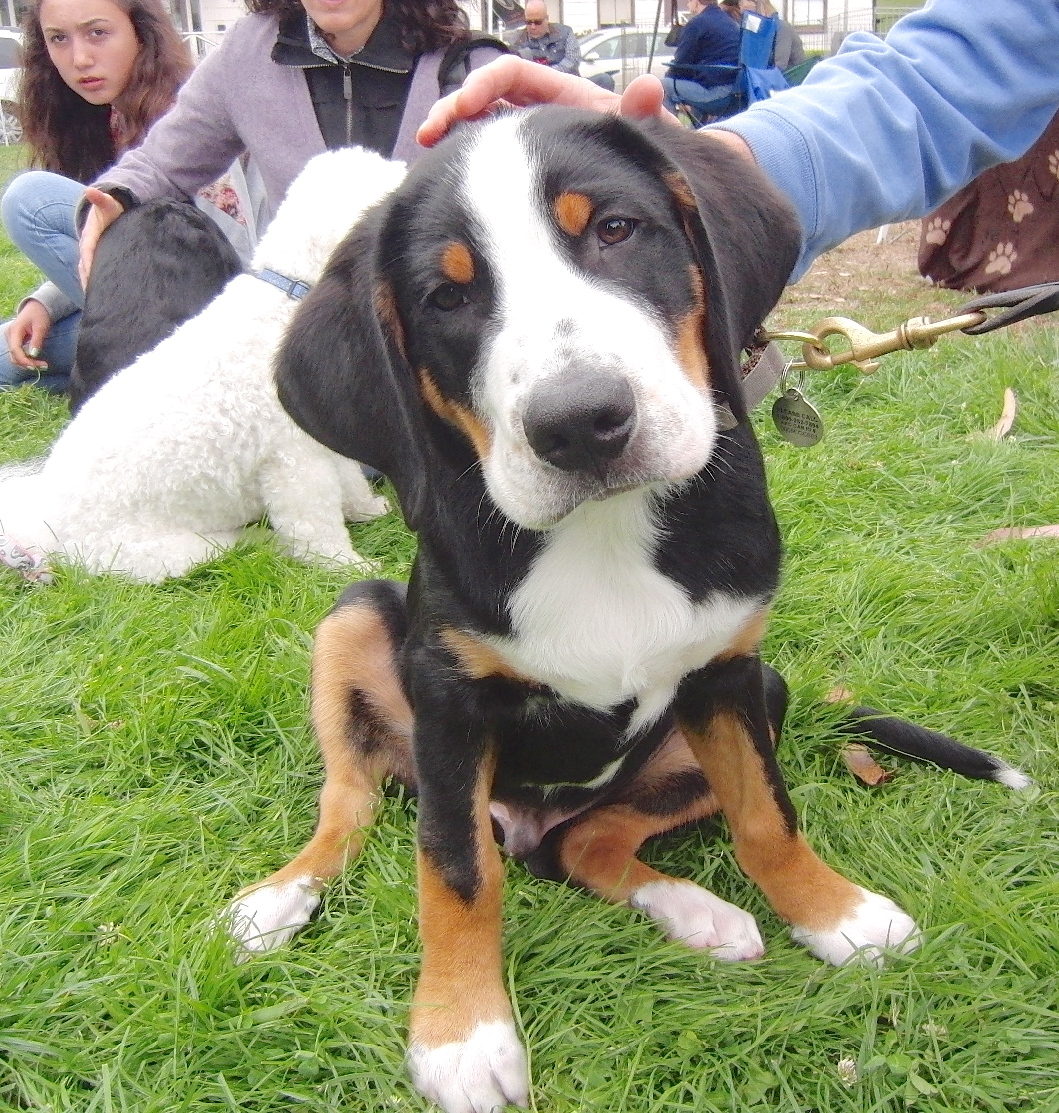 Swiss Mountain Dog of Some Kind