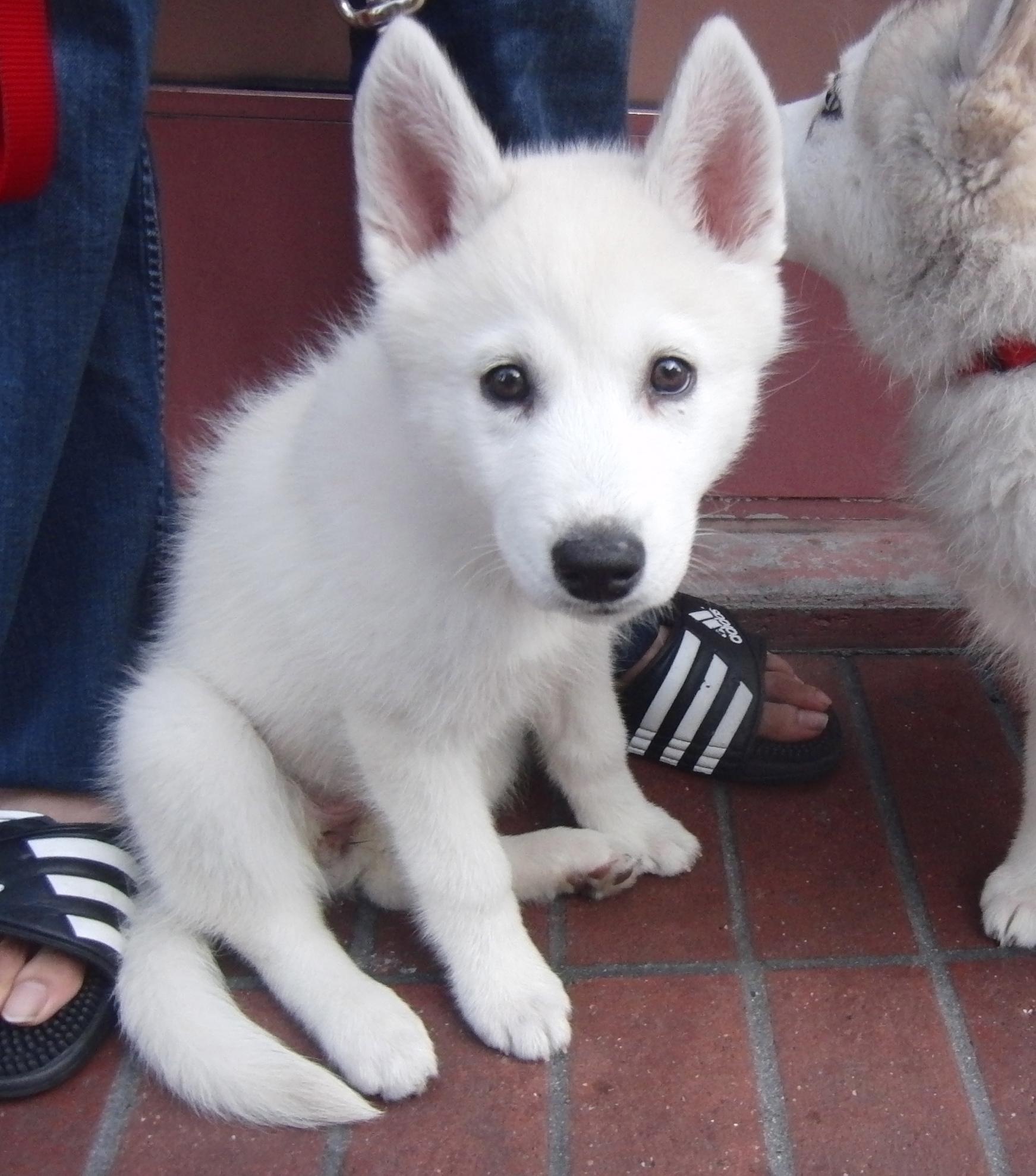 white siberian husky puppies - photo #7