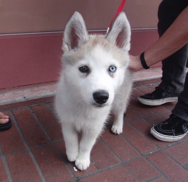 Heterochromic Silver Siberian Husky Puppy