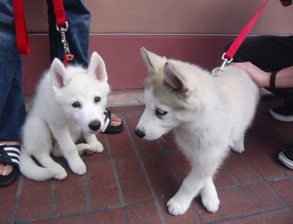 Two Siberian Husky Puppies