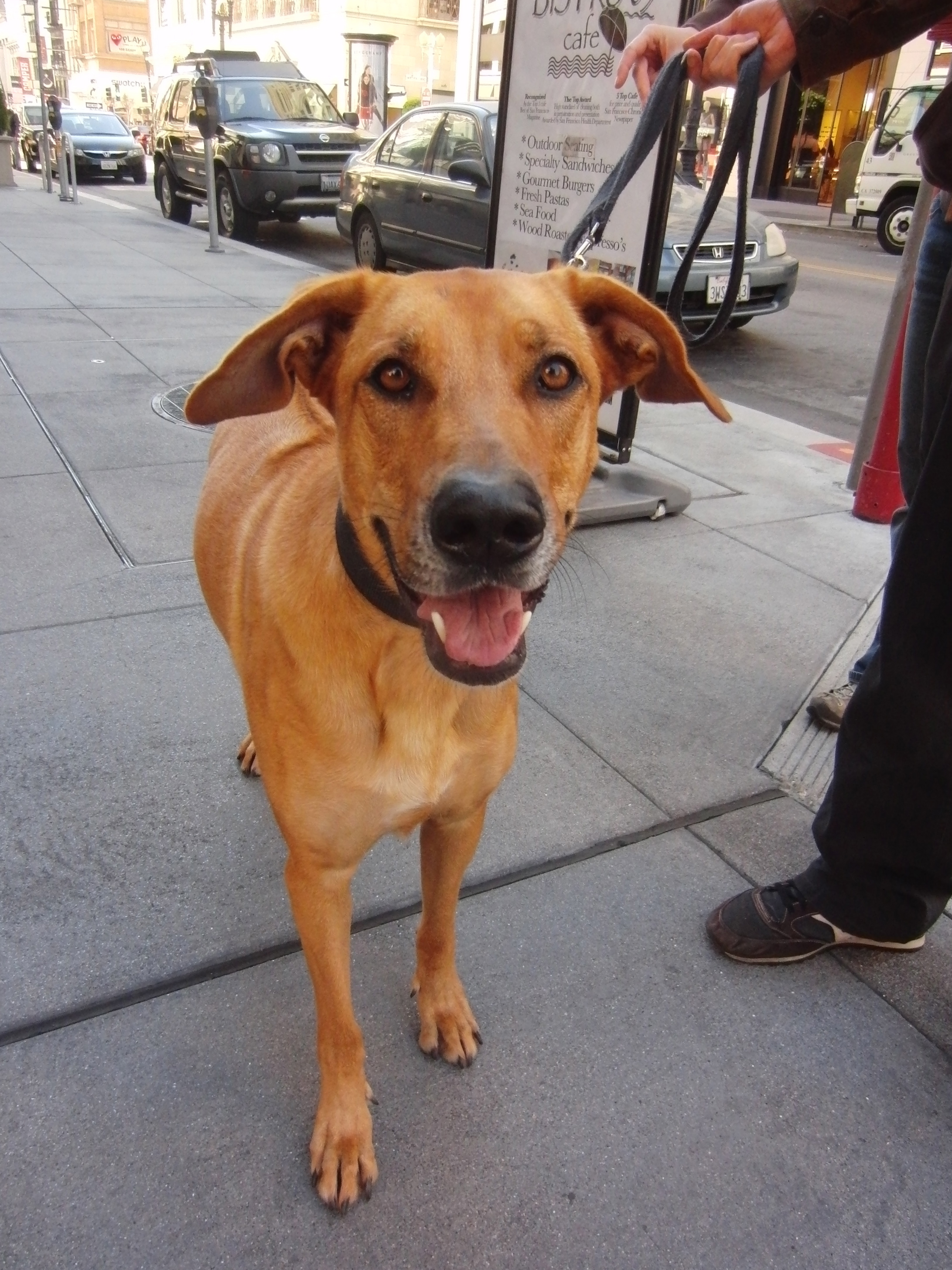 Tan Rhodesian Ridgeback/German Shepherd Mix With Semi-Floppy Ears