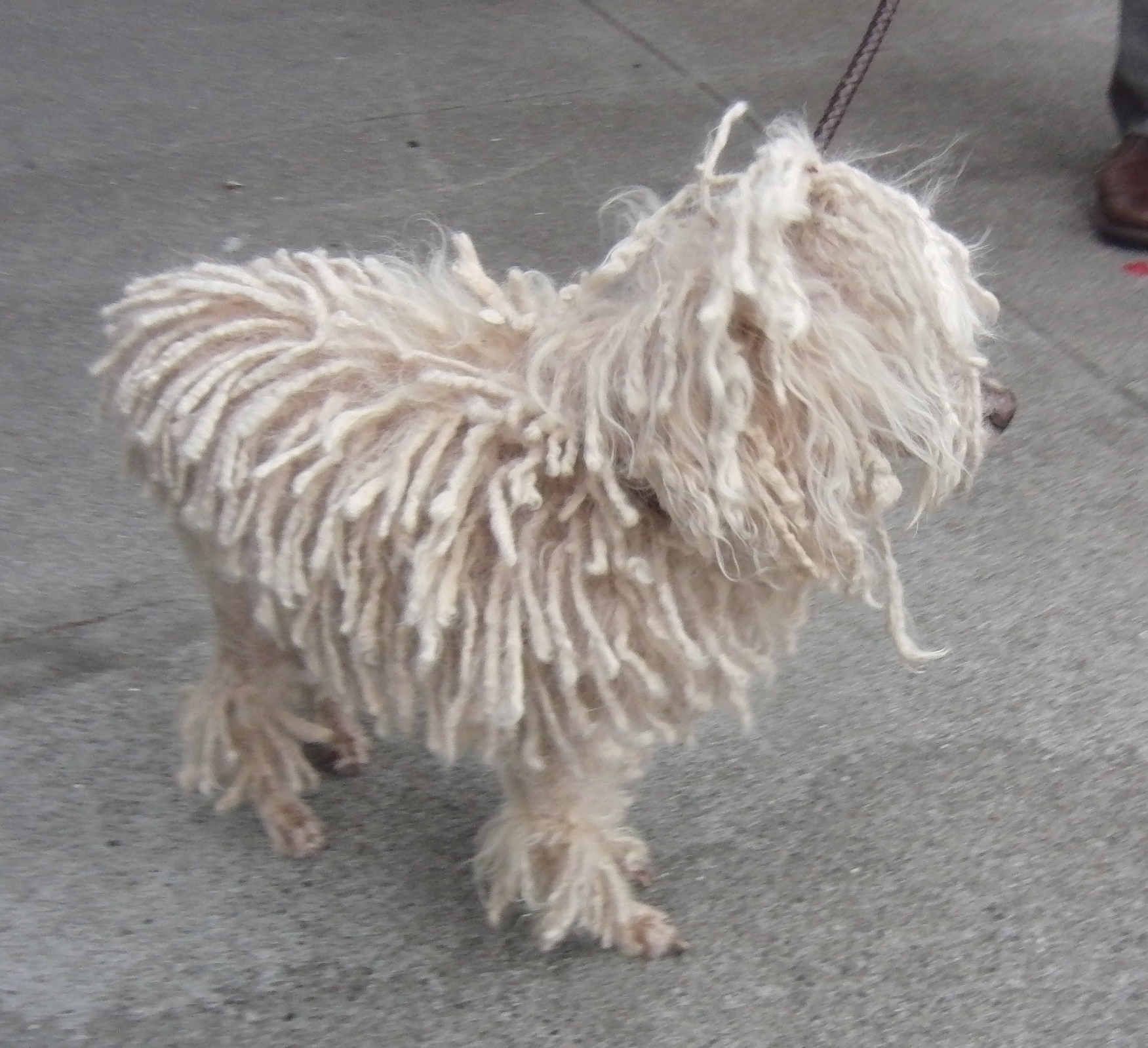 White Miniature Poodle With Dreadlocks