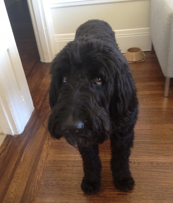 Large Black Labradoodle