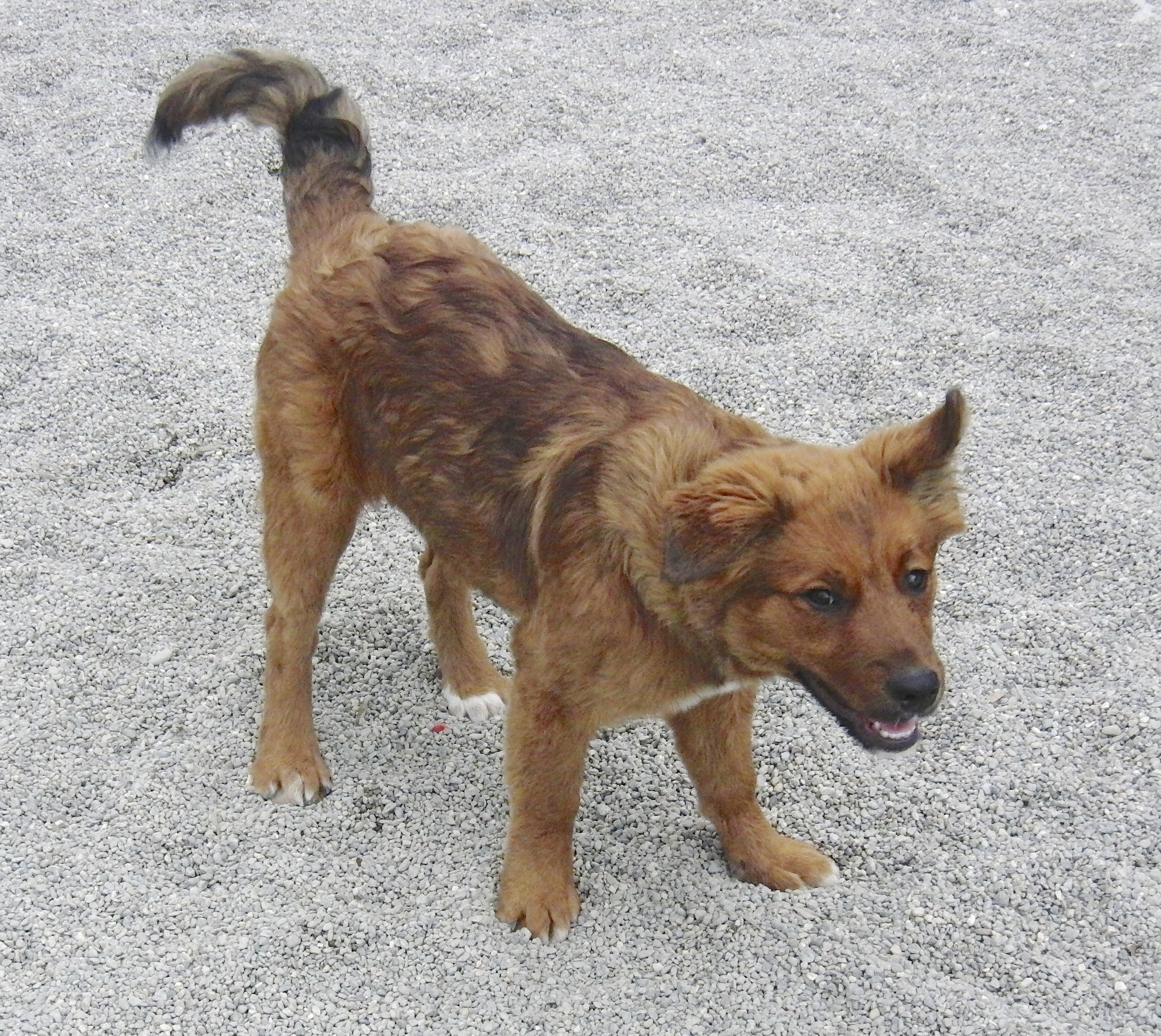 Reddish Puppy of Unknown Breed