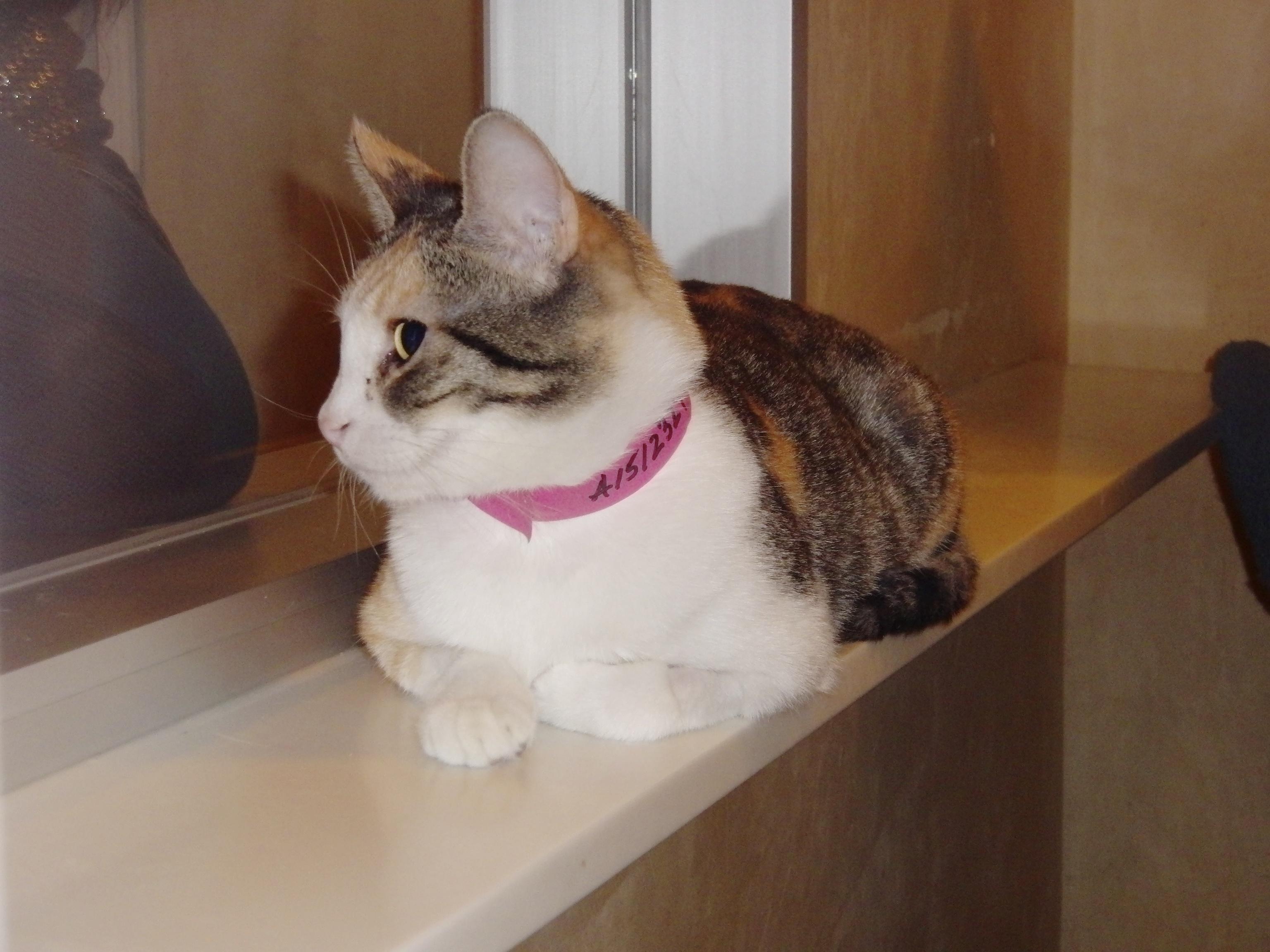 Tortoiseshell-and-White Tabby Cat