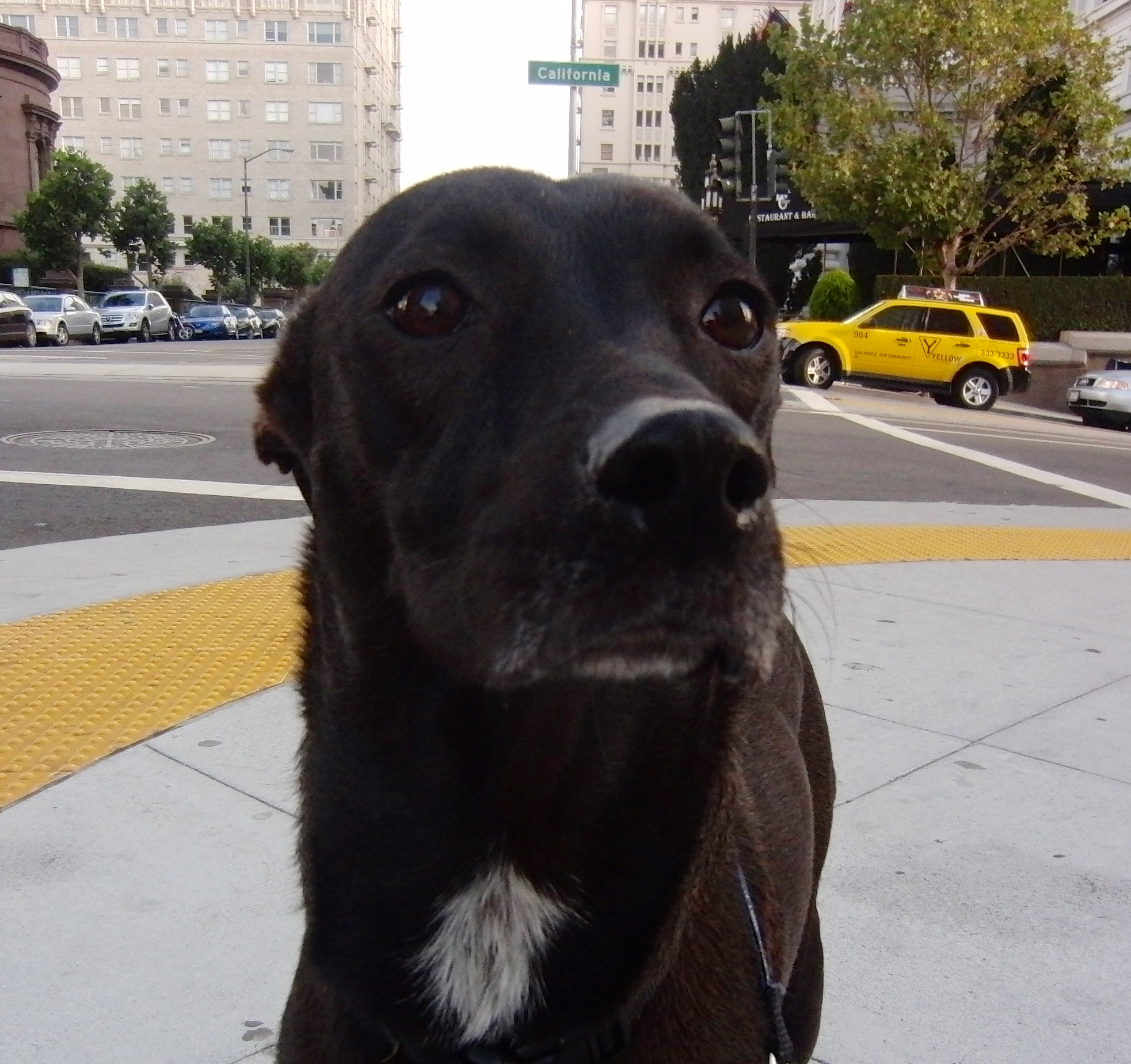 Formosan Mountain Dog/Whippet Mix, Black with White Spot on Chest