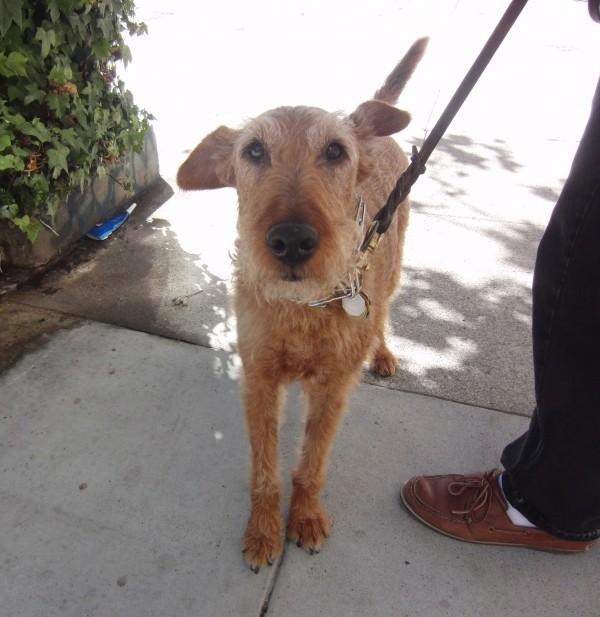 Wheaten-Coat Irish Terrier