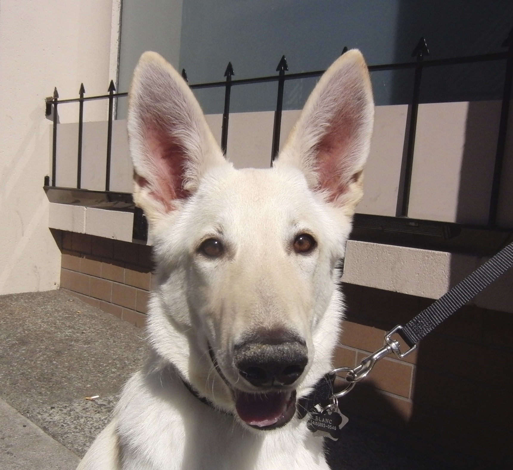 White Shepherd Dog, 5 Months Old