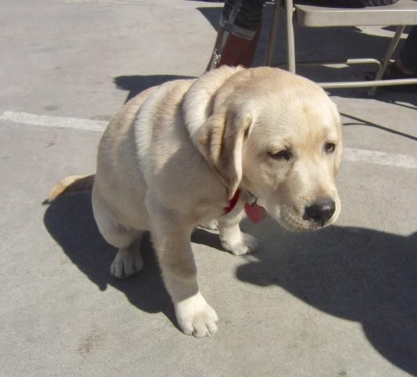 Four-Month-Old Yellow Labrador Retriever Puppy