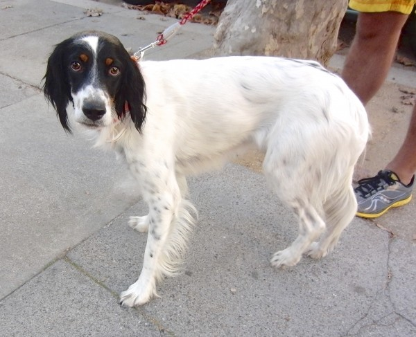 Tricolor Llewellyn Setter