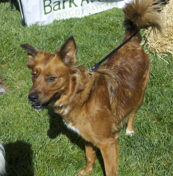 Unknown Breed Mix, Red Foxy Dog