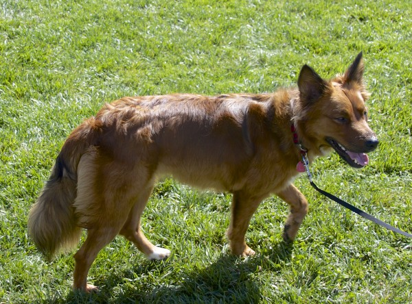 Red Dog of Unknown Breed