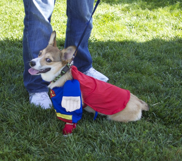 Tricolor Pembroke Welsh Corgi Dressed as Superman