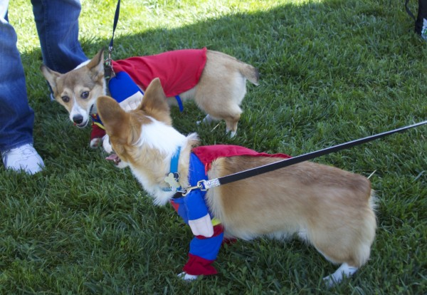 TWO Tricolor Pembroke Welsh Corgis, Both Dressed as Superman