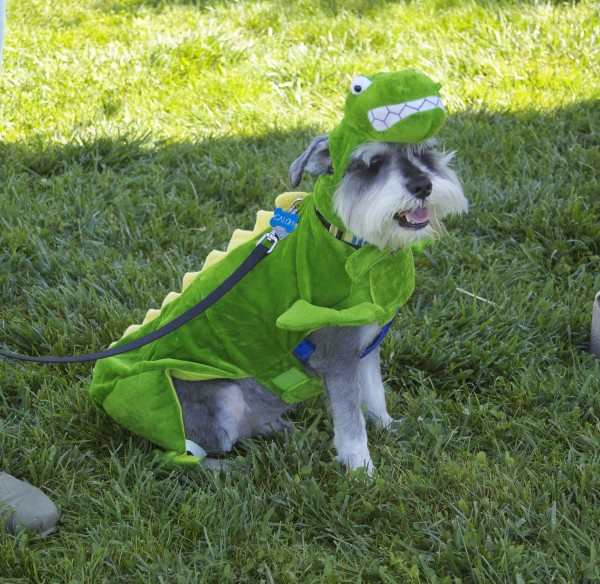 Silver Schnauzer in a Dinosaur Costume