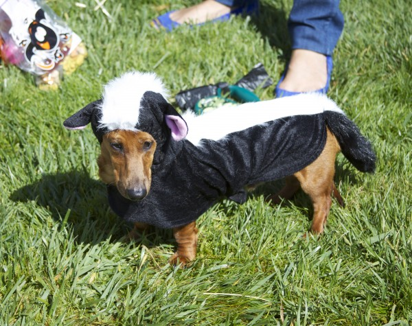 Red Miniature Dachshund in a Skunk Costume
