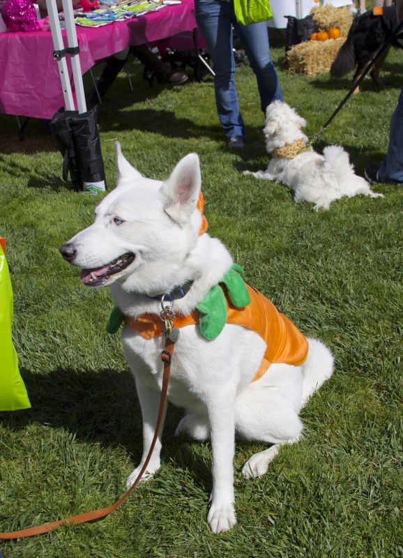 White German Shepherd in a Pumpkin/Jack-O-Lantern Costume