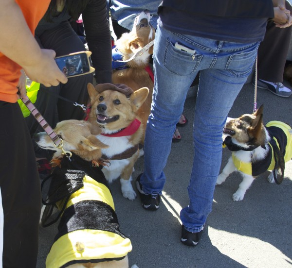 Four Pembroke Welsh Corgis In Costumes