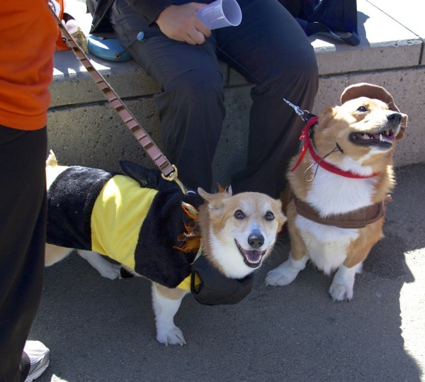 Pembroke Welsh Corgis In Costumes