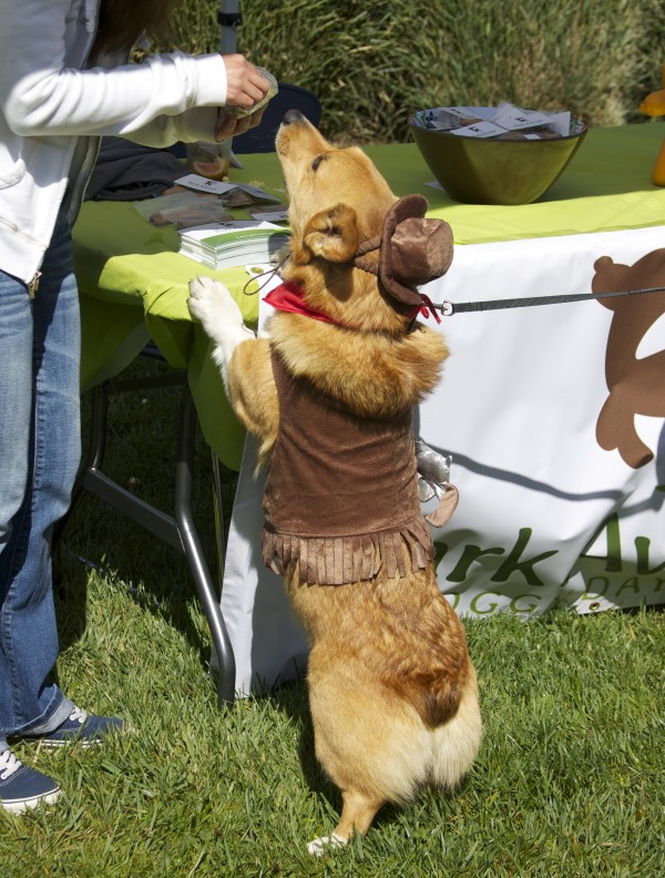Pembroke Welsh Corgi in a Sheriff Costume