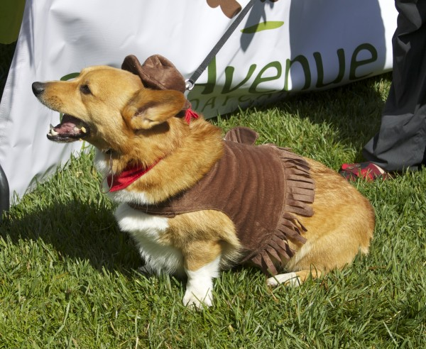 Tan and White Pembroke Welsh Corgi in a Sheriff Costume