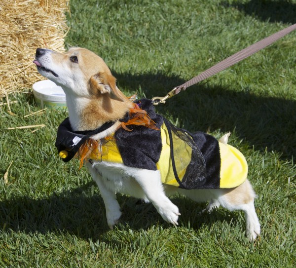 Tan and White Pembroke Welsh Corgi in a Bee Costume